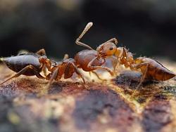 一对举尾蚁在打架