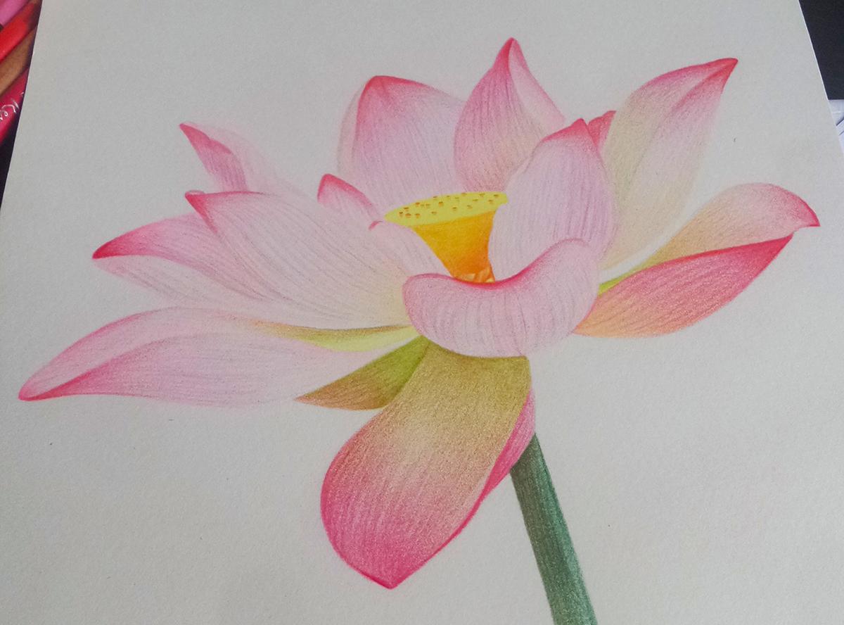 手绘彩铅画 荷花 花卉