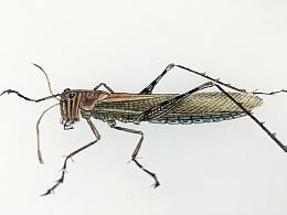 工虫-蝗虫