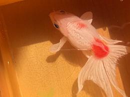树脂画,树脂金鱼