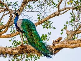 斯里兰卡亚拉国家动物园丛林探险