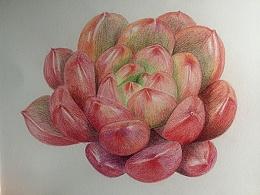 肉类植物彩铅作品