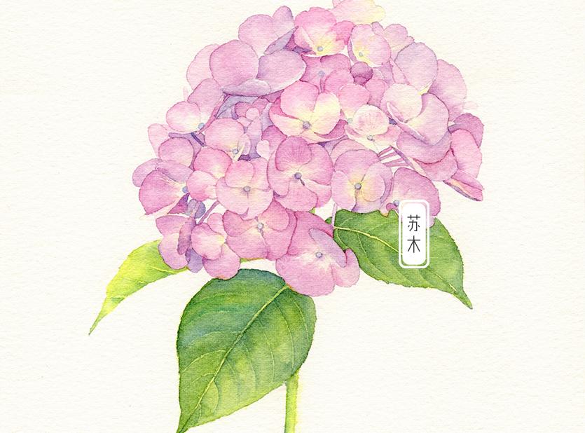 粉色绣球花水彩教程