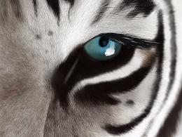 手绘作品-老虎