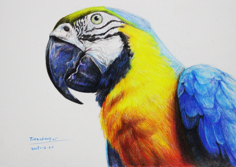 手绘彩铅《金刚鹦鹉》