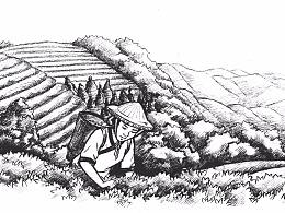 六堡茶插画