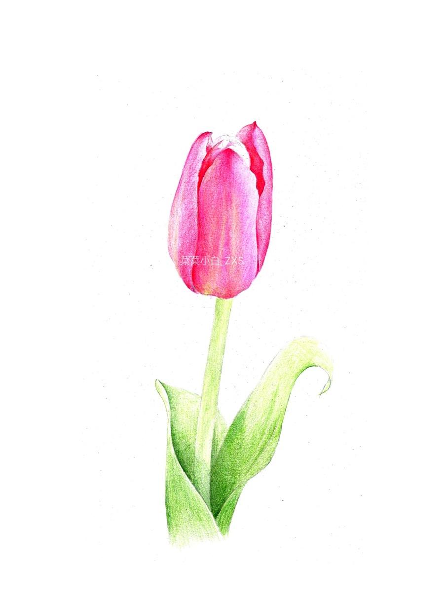 彩铅手绘—郁金香