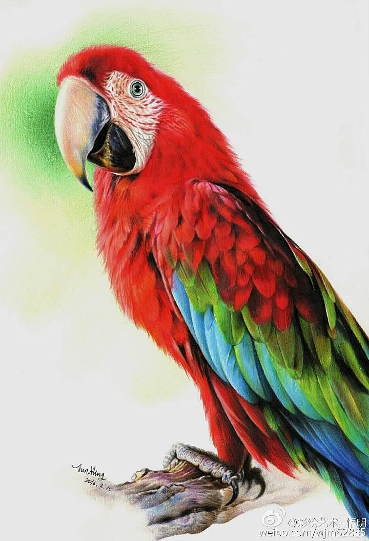 彩铅画金刚鹦鹉