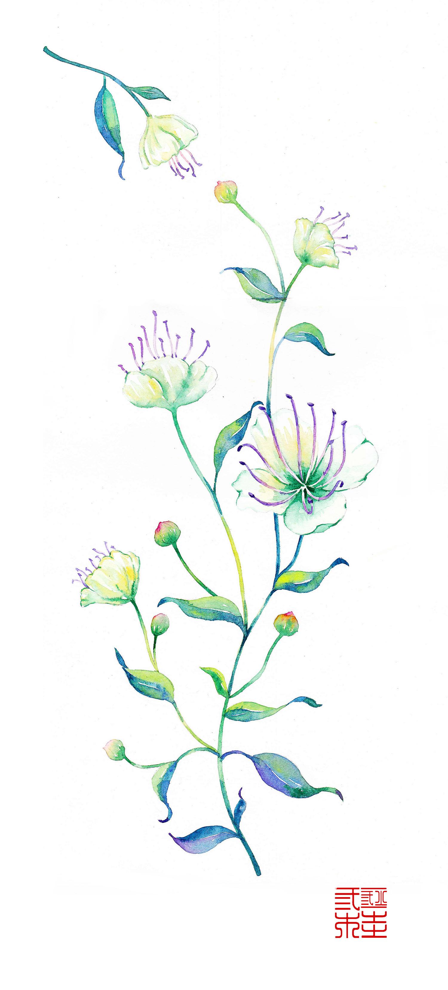 水彩手绘山柑花