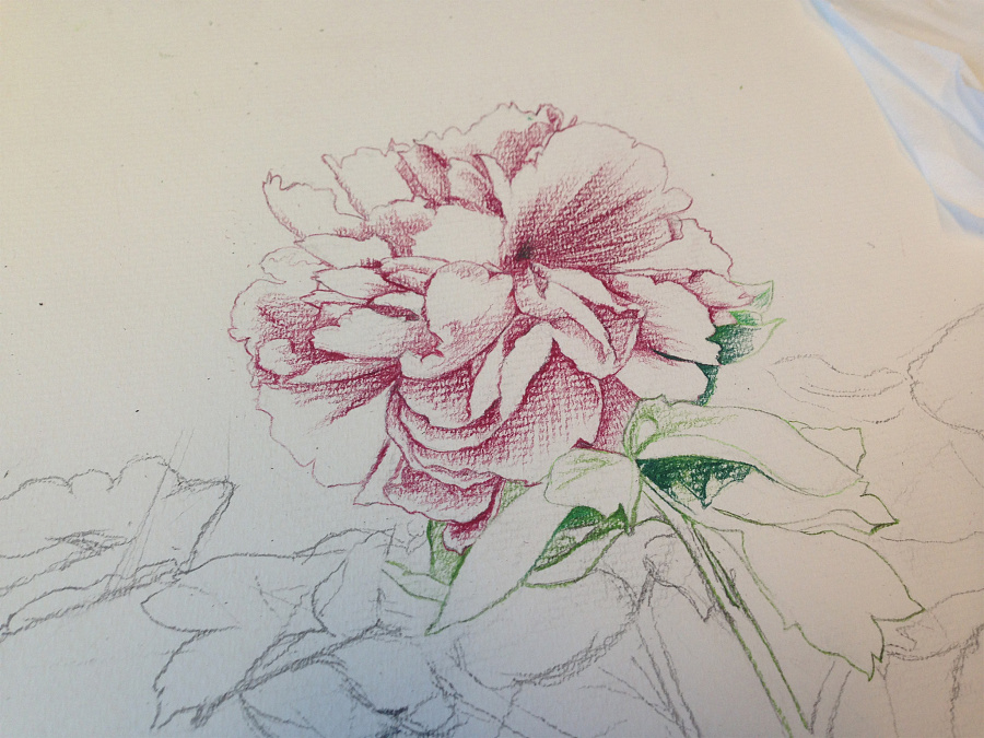 手绘月季花