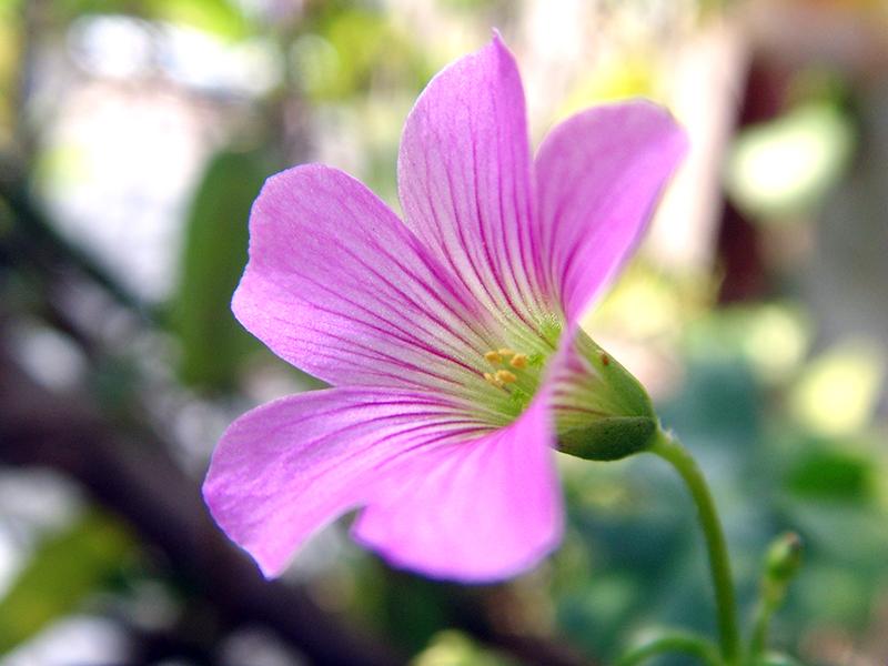 酢浆草花|生态|摄影|ginkgo
