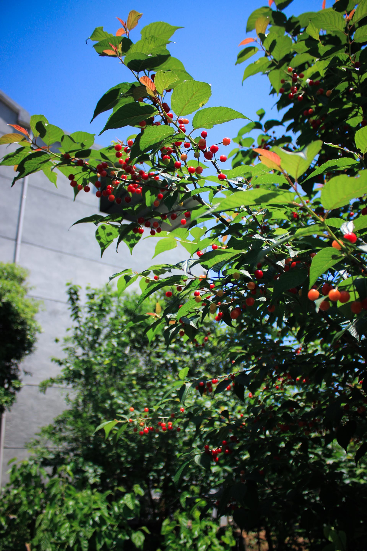亩地可以种多少樱桃树图片