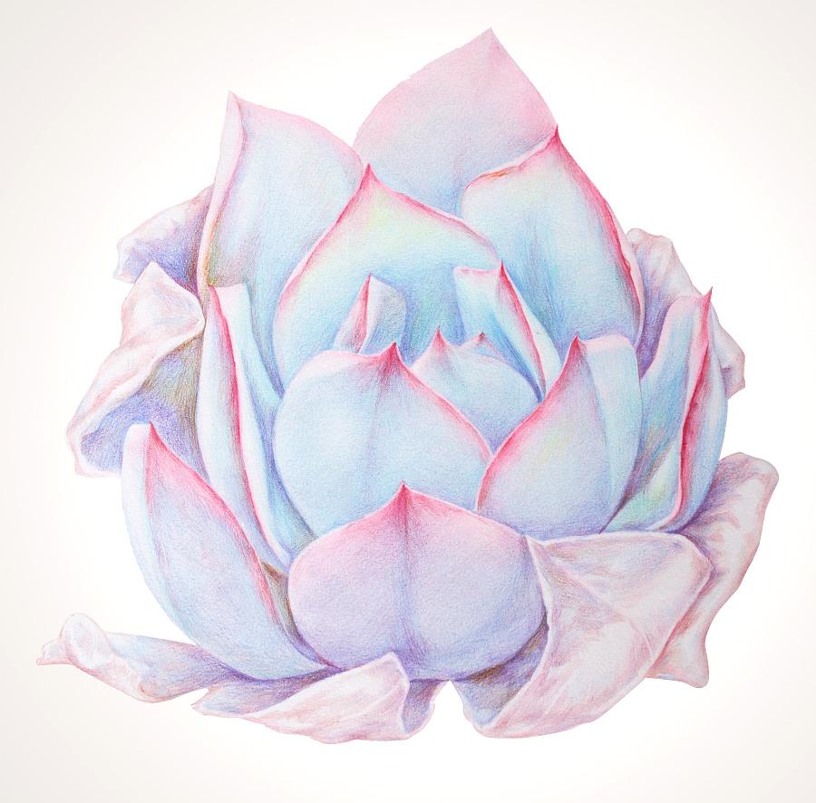 手绘多肉植物——《广寒宫》|彩铅|纯艺术|鸩山