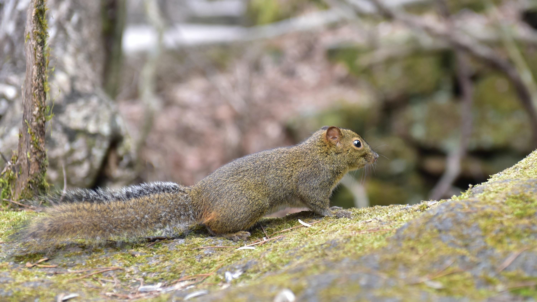 黄山上的小松鼠图片