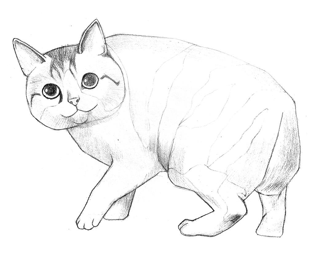 彩色铅笔画步骤教程:日本短尾猫的画法