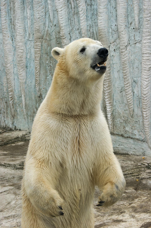 《从南到北的旅程》之动物园的北极熊