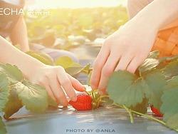 草莓系列第一篇 | 饮品制作视频 | 水果茶饮