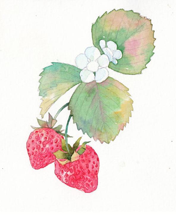 水彩画草莓图片