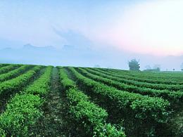 探访自然保护区 世界红茶发源地 清莲雅集