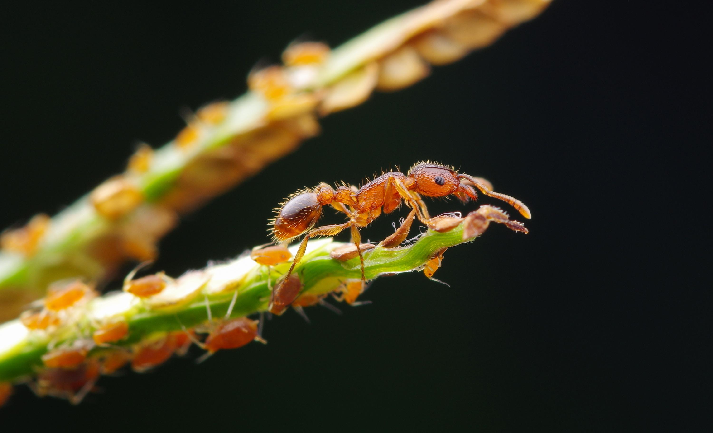 切叶蚁 图片