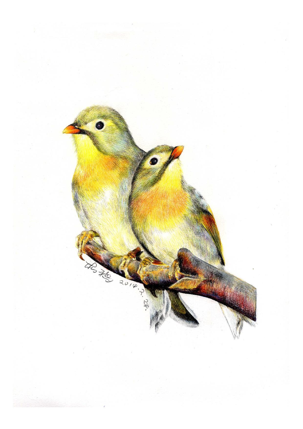 彩铅鸟类手绘——相思鸟