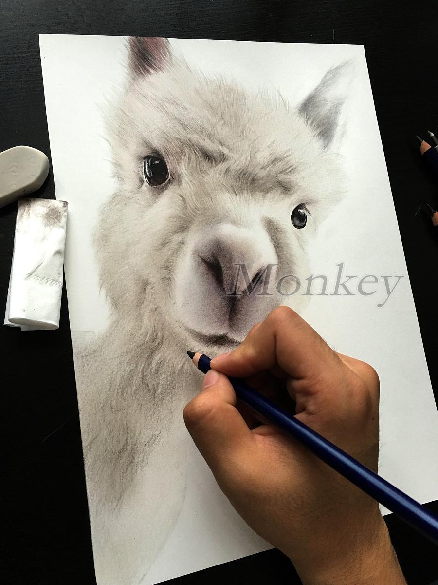 彩铅手绘羊驼