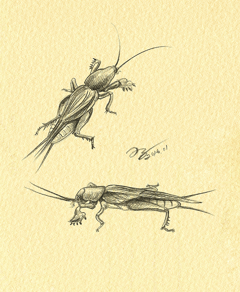 oy手绘:昆虫速写