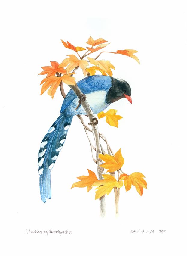 水彩手绘-红嘴蓝鹊(步骤图)