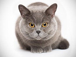深圳宠物摄影-珀珀宠物摄影zhi蓝猫