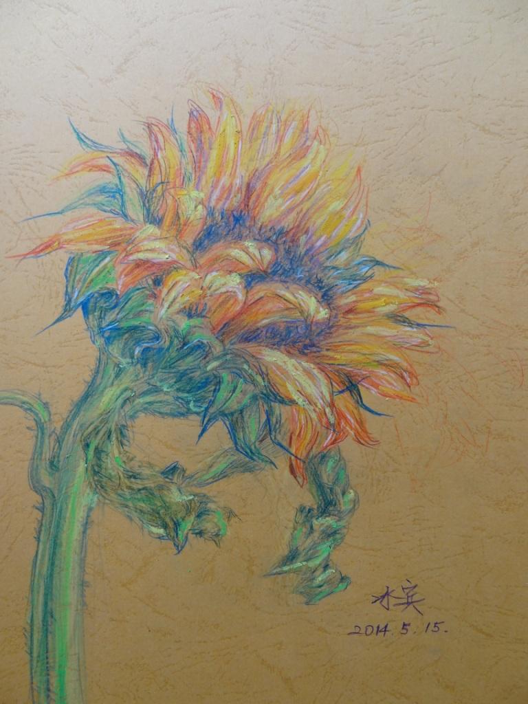用彩色铅笔写生向日葵,虽然以前用铅笔画过,但这次画又有新的体会