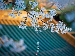 朝天宫·樱花