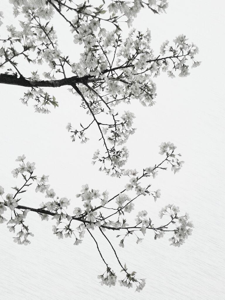 黑板报手绘樱花