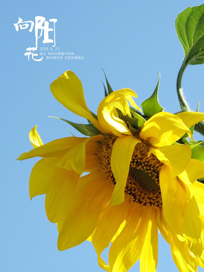 向阳花 图片