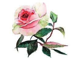 【驴大萌水彩教程024】手绘玫瑰花