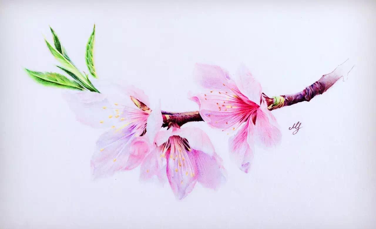 樱花图片手绘彩铅