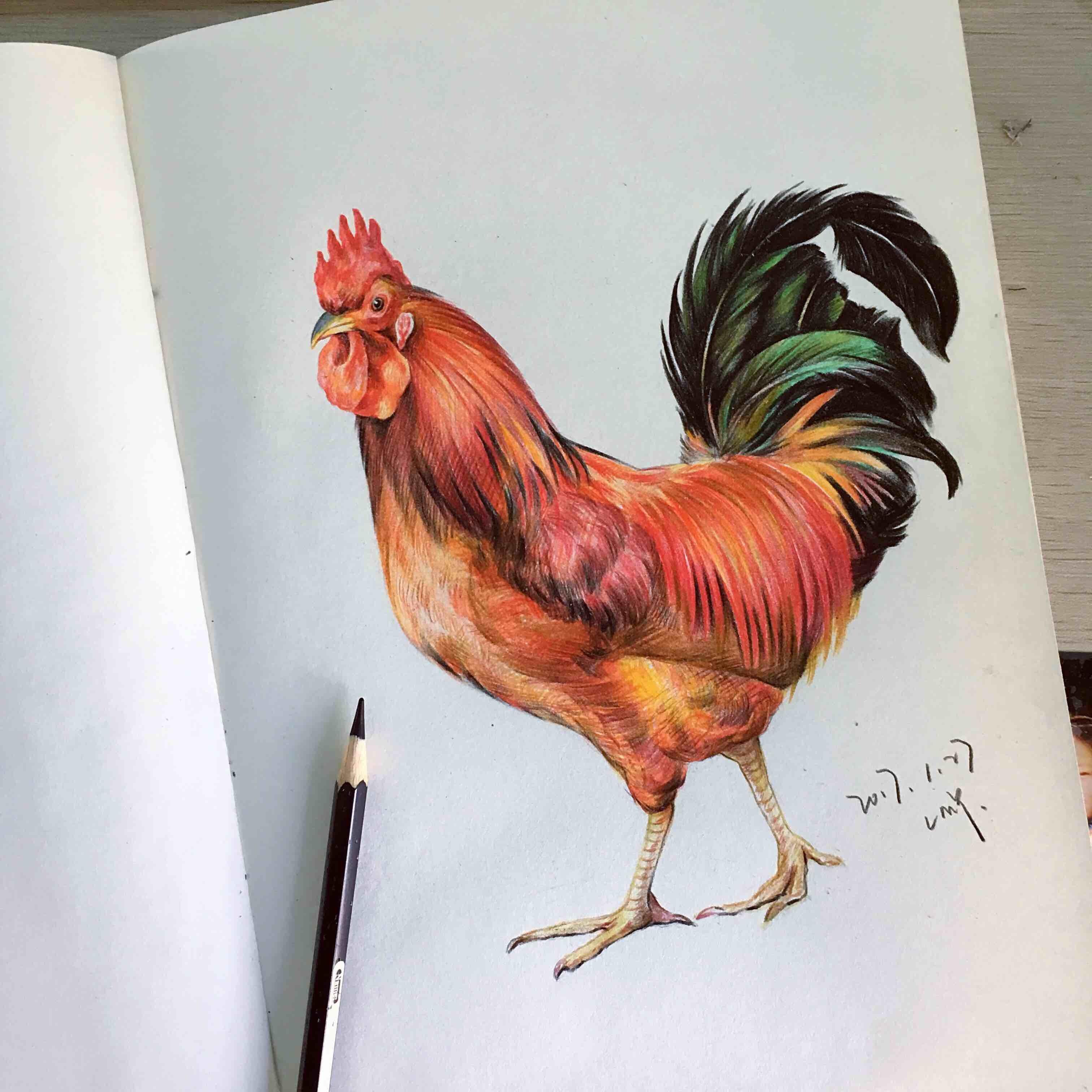 彩铅手绘公鸡