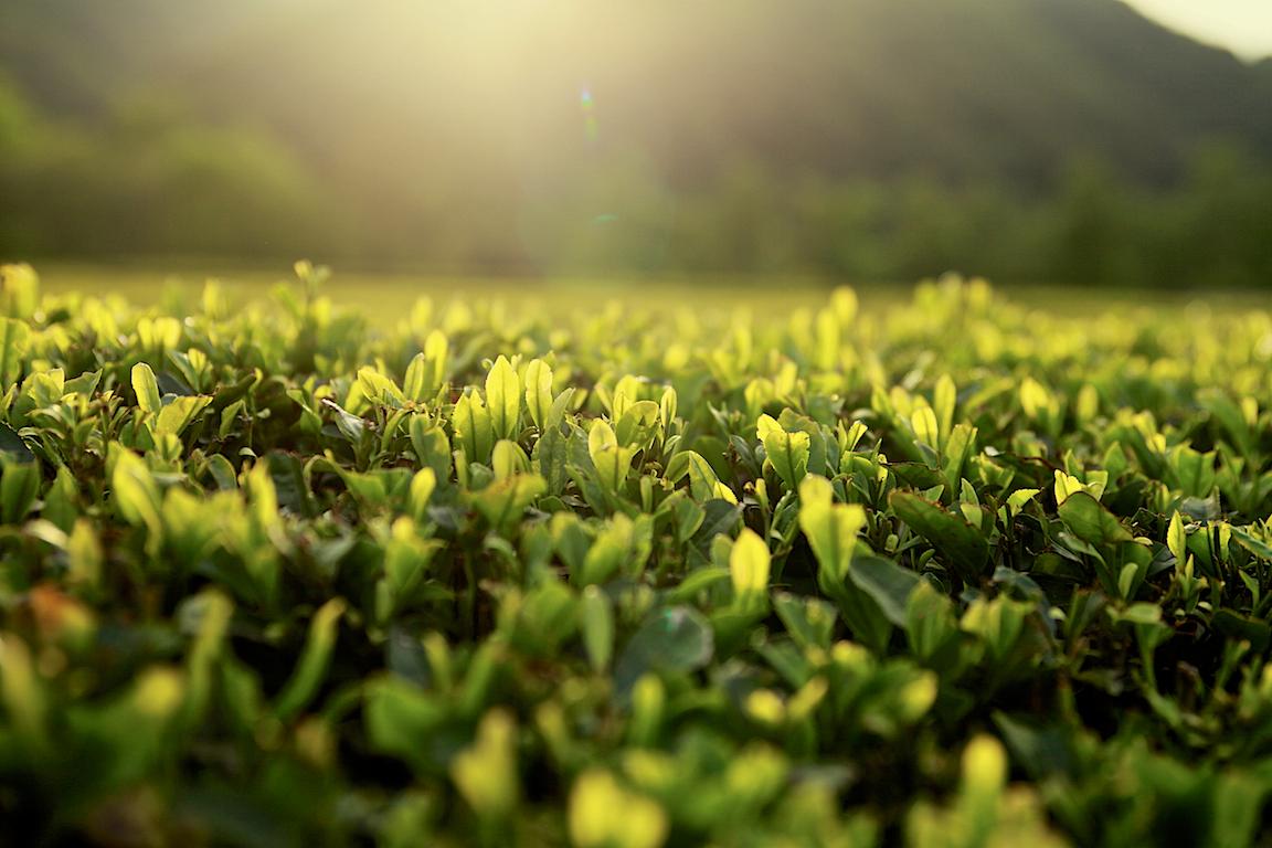 teagarden.