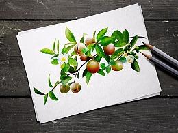 山茶油包装插画