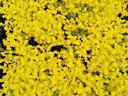 黄佛甲草开花