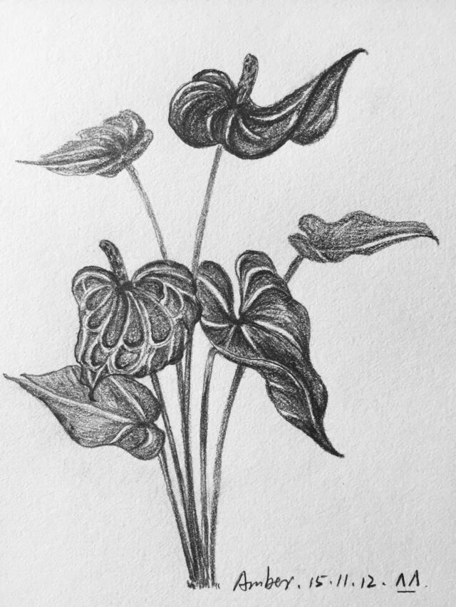 临摹素描-花卉|绘画习作|插画|amber兔子