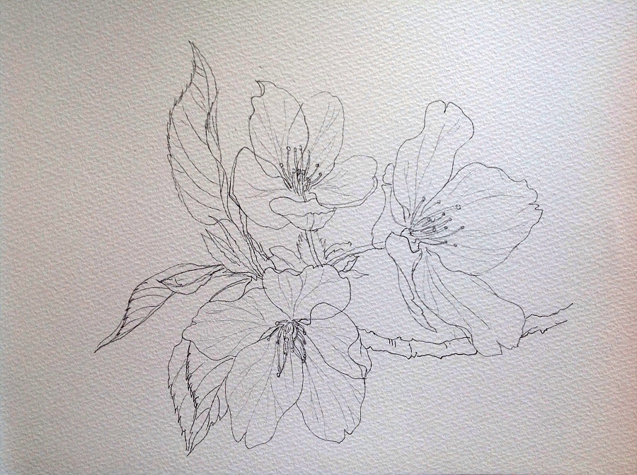 樱花素描画法步骤图