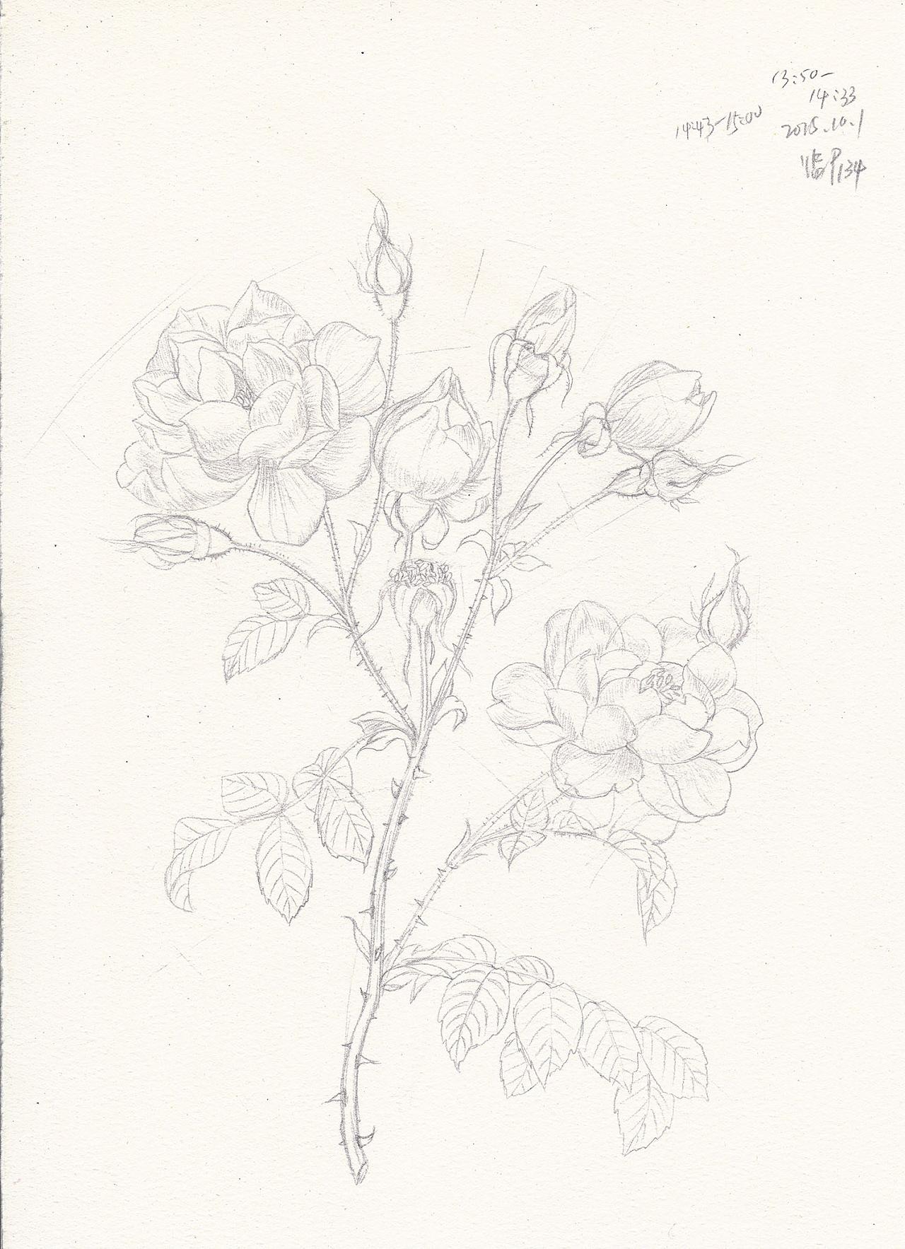 临摹-玫瑰线稿5p