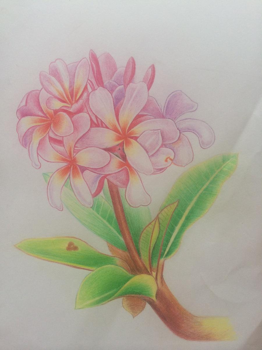 彩铅手绘鸡蛋花|绘画习作|插画|ui