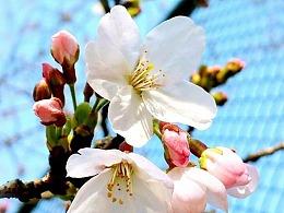 同济四季——春