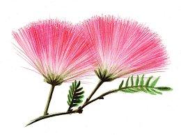 【驴大萌彩铅教程173】手绘鲜花 合欢花