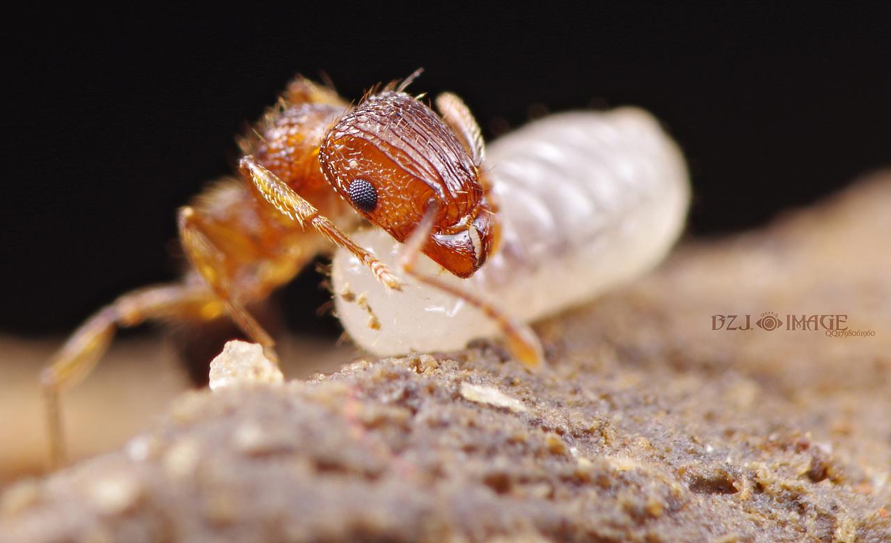 微距最小的蚂蚁,,,,切叶蚁.图片