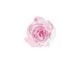 宝琪兰-玫瑰纯露-产品包装风格设计