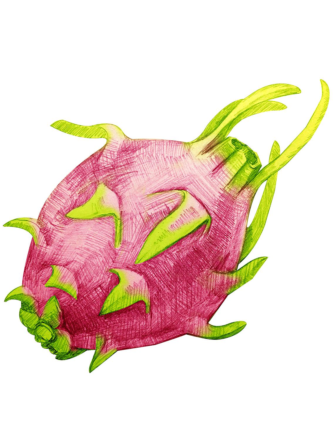 手绘  插画  素描   水果  火龙果