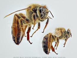 昆虫之美™ 女王蜂&工蜂