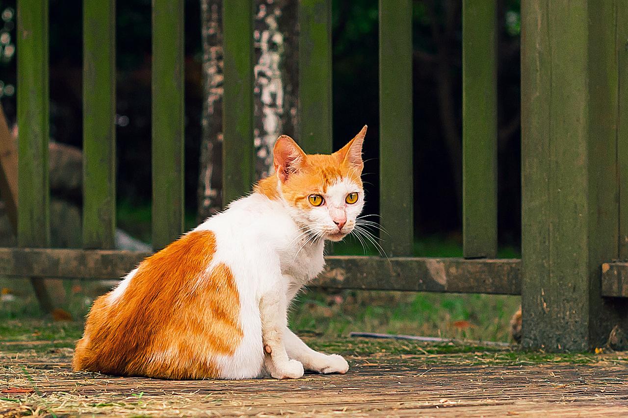 喵喵小猫叫歌谱